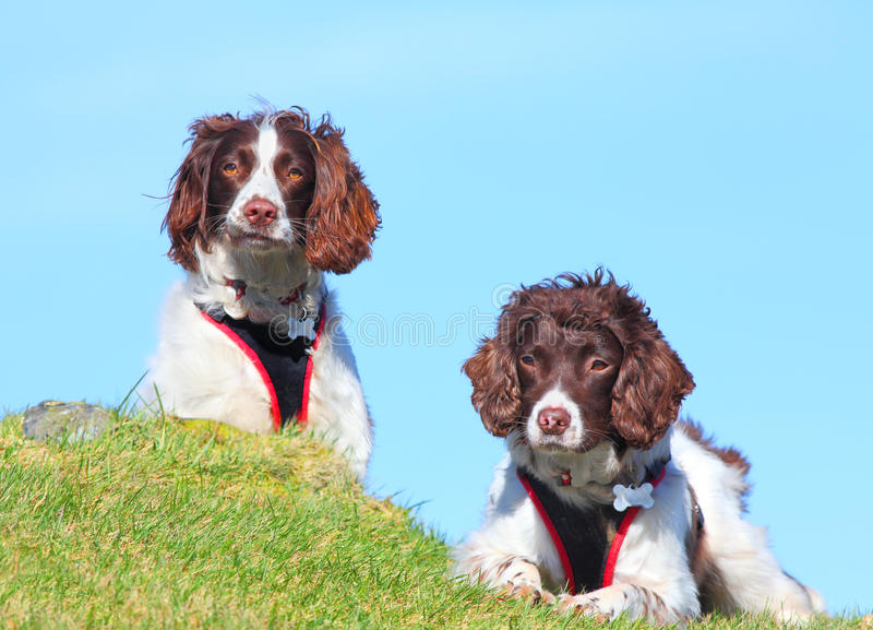 Two dogs search and rescue royalty free stock photos