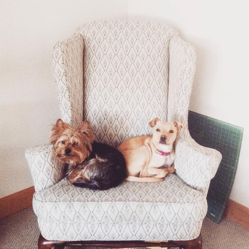 Two dogs sharing space. Two dogs in a chair stock photos