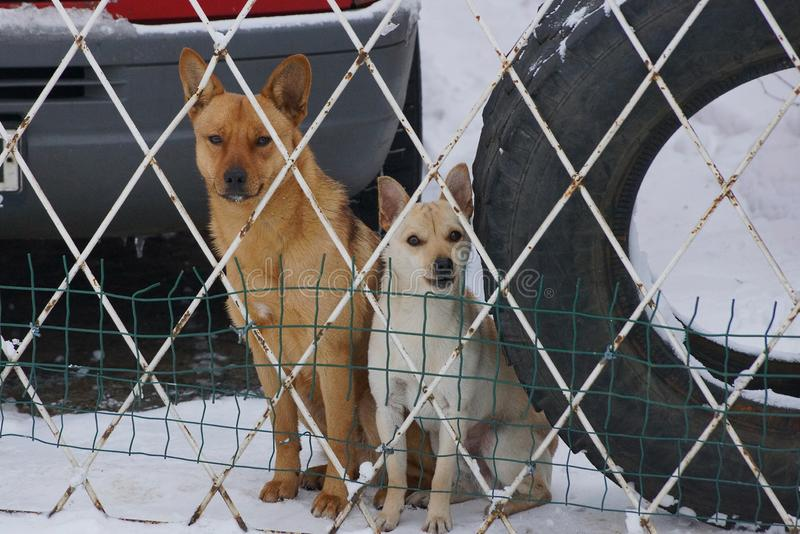 Two dogs are sitting behind the fence on white snow royalty free stock photos