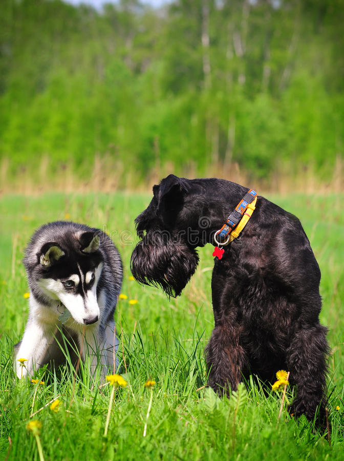 Download Two dogs sitting on grass stock photo. Image of husky - 14268446