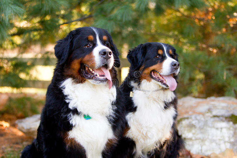 Two Dogs sitting looking forward. Two dogs sitting looking in the distance together royalty free stock photos