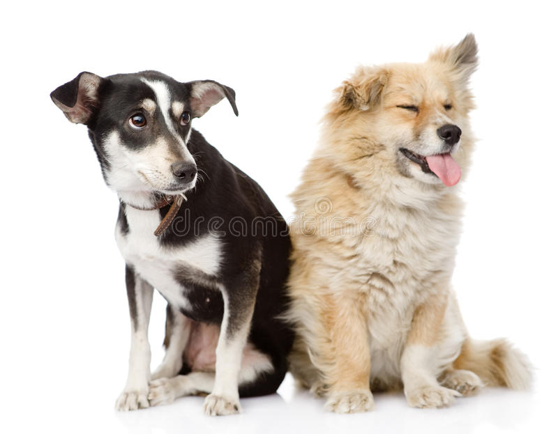 Two dogs sitting together. isolated on white backg royalty free stock photography