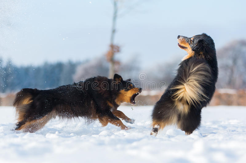 Two dogs in the snow stock photography