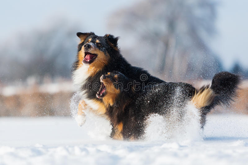 Two dogs in the snow royalty free stock photography