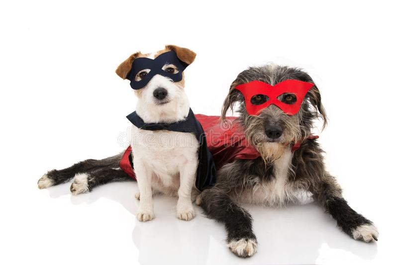 TWO DOGS SUPER HERO COSTUME. JACK RUSSELL AND PUREBRED WEARING A RED AND BLUE MASK AND A CAPE.  CARNIVAL OR HALLOWEEN. ISOLATED. TWO DOGS SUPER HERO COSTUME stock image