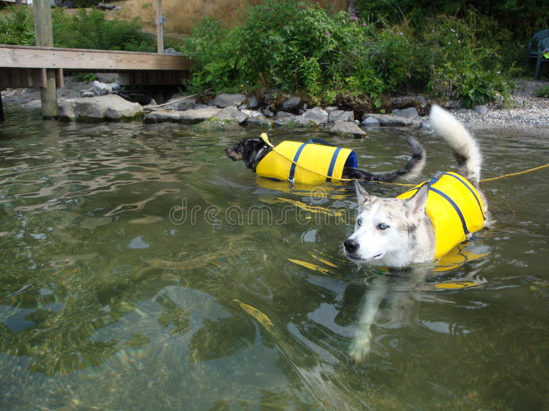 Two Dogs Swimming With Life Jackets. Ausky dog and Catahoula Leopard dog swimming at Cayuga Lake wearing a bright yellow life jacket. Safety first! The water is royalty free stock images