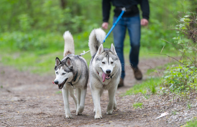 Two dogs in team run on forest track. royalty free stock images