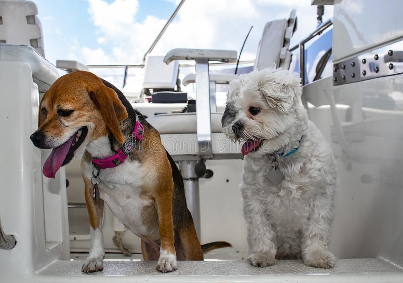 Two dogs with their tongues hanging out looking down from the top deck of a white cabin cruiser with boat seat in background royalty free stock photo