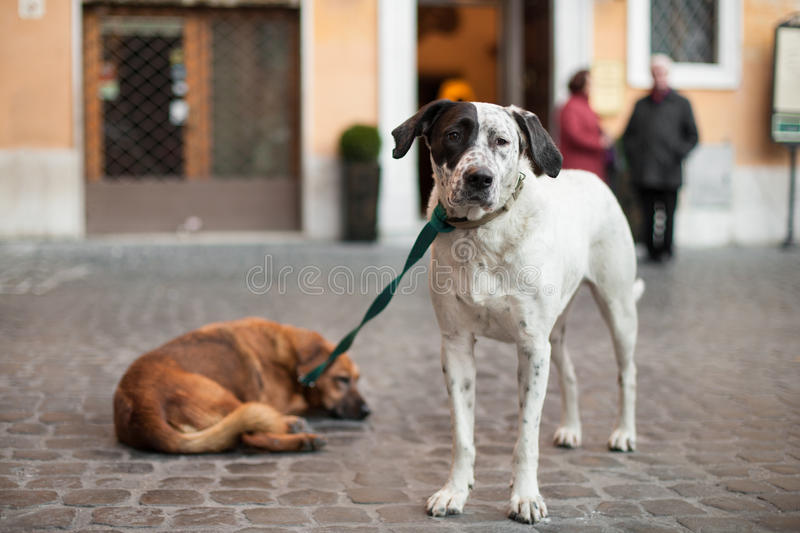 Two dogs tied the leash, friends stock photography