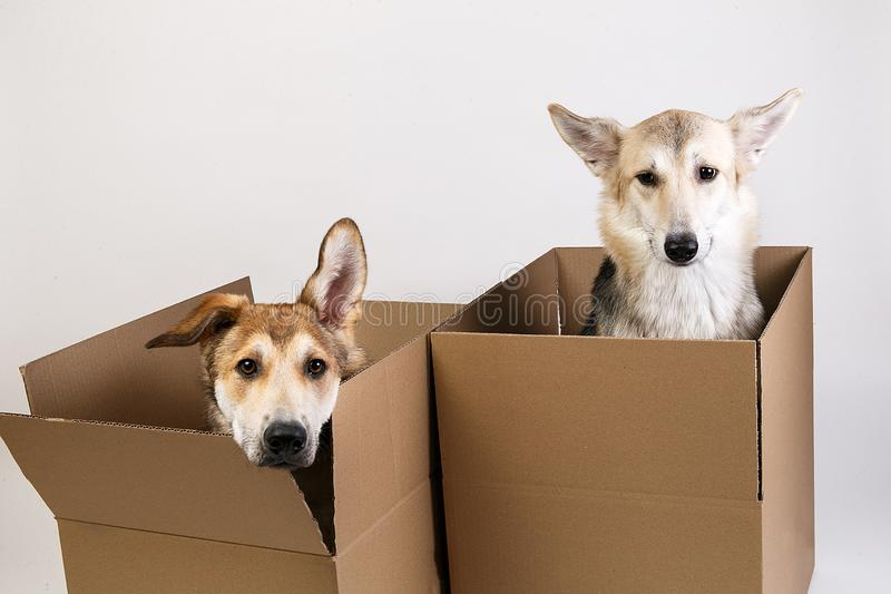 Two dogs in a very big moving box. isolated on white royalty free stock images