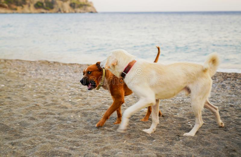 Two dogs walk in the beach, concept of jealous husband royalty free stock images
