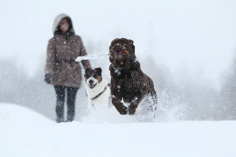 Two dogs at walk running and playing at snow in winter royalty free stock image