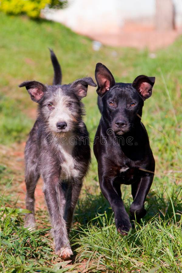 Two dogs walking on grass stock photography