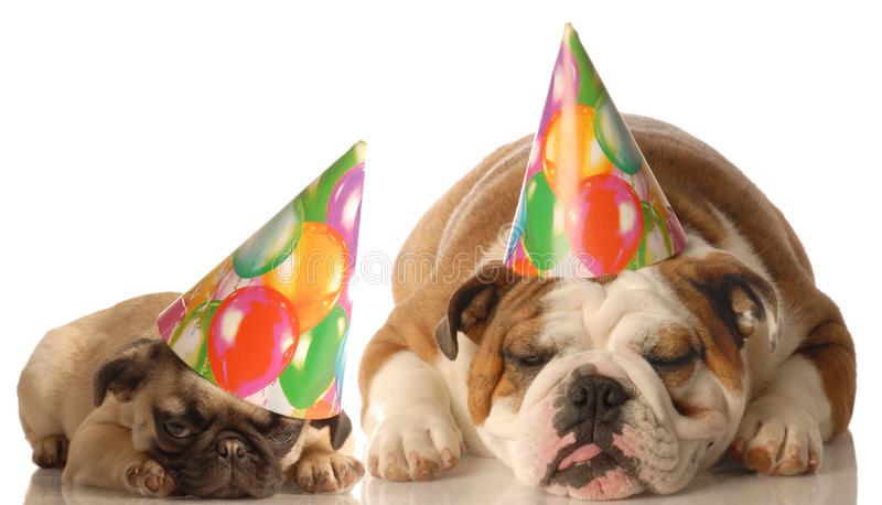 Two dogs wearing birthday hats. English bulldog and pug puppy wearing birthday hat isolated on white background royalty free stock photography