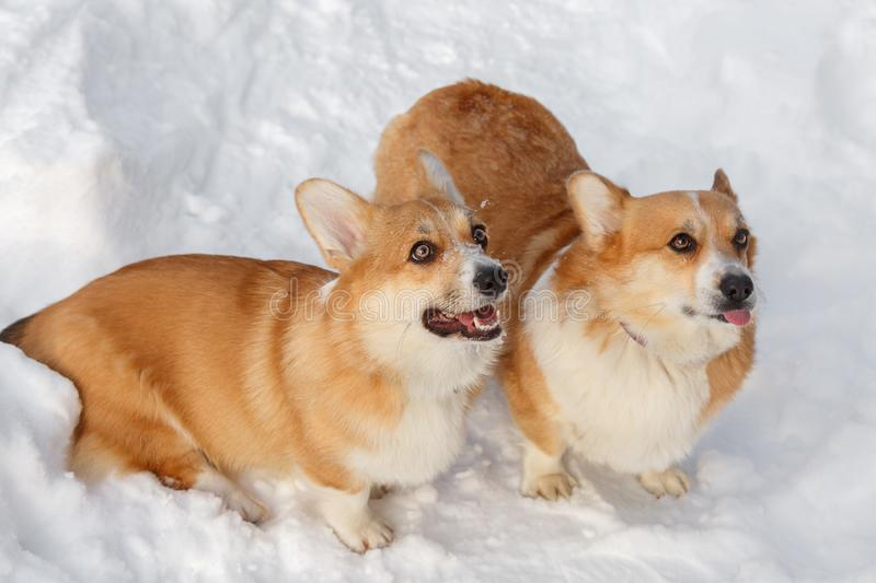 Two dogs Welsh Corgi cardigan plays in winter on snow for a walk. Two dogs Welsh Corgi cardigan plays winter in the snow for a walk sticking out his tongue royalty free stock photos