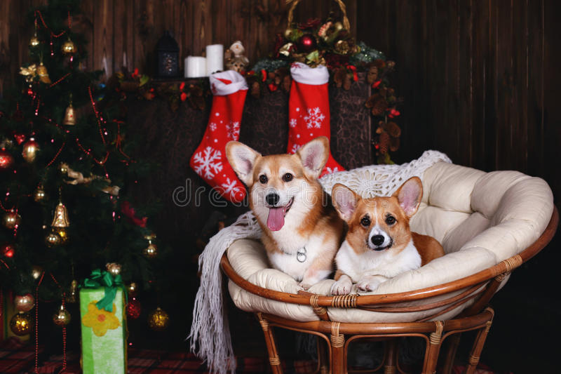 Two dogs welsh corgi pembroke in a chair. Happy holiday New Year and Christmas. Two dogs in a chair. New Year, Happy holiday, Christmas and christmas balls stock photo