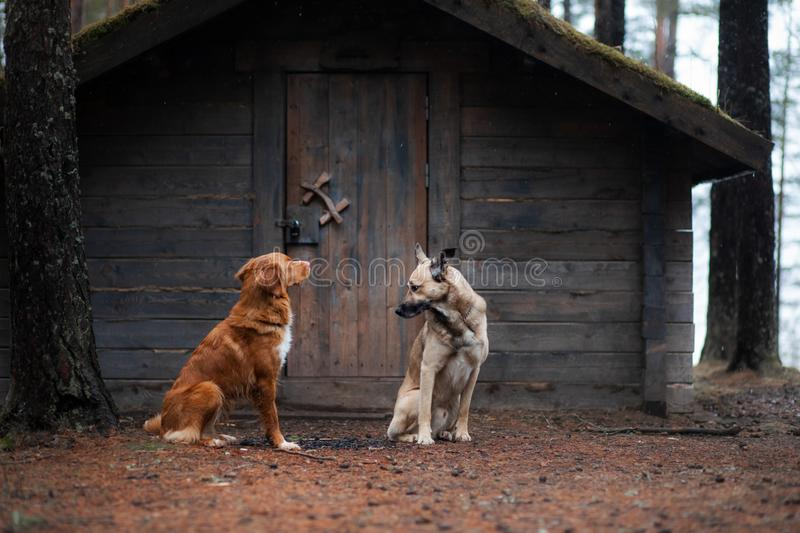 Two dogs at a wooden house in the forest. Nova Scotia Duck Tolling Retriever and mixbreed stock photo