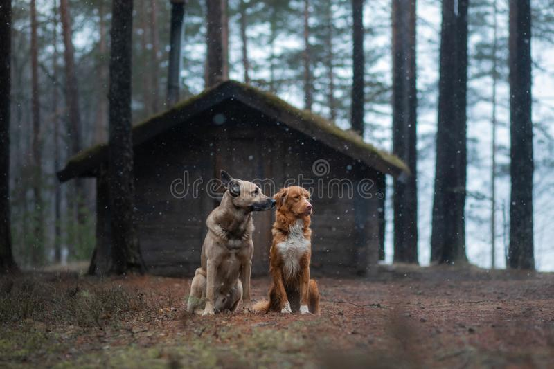 Two dogs at a wooden house in the forest. Nova Scotia Duck Tolling Retriever and mixbreed stock photography