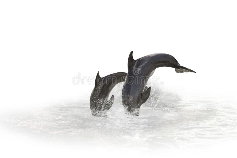 Two Dolphin jumping stock images