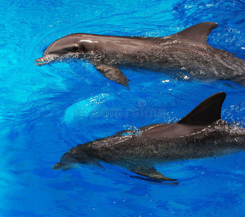 Download Two Dolphins stock photo. Image of gray, grey, dolphins - 25163370