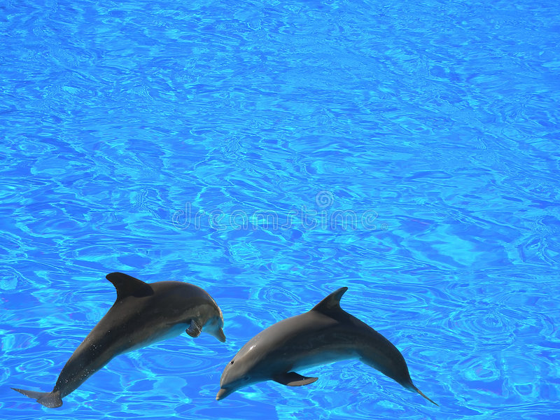 Two dolphins. Jumping in the air above blue waters - isolated (clipping path stock image