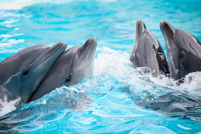 Two dolphins couples. Two bottlenose dolphins couples dancing in the water royalty free stock image