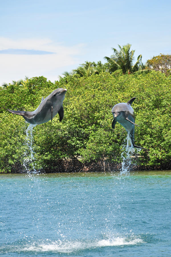 Two dolphins jumping. Out of the water stock photo