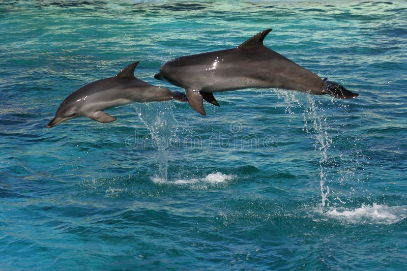 Two dolphins jumping. In clear blue water stock photos