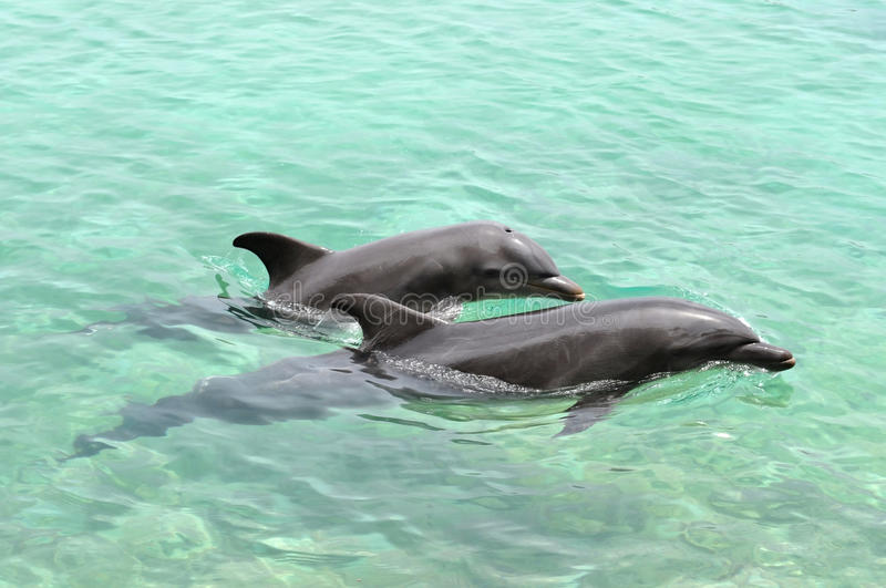 Two dolphins playing royalty free stock photography