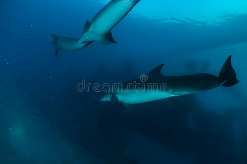 Two Dolphins swimming with divers in the Red Sea. Eilat Israel a.e royalty free stock photos