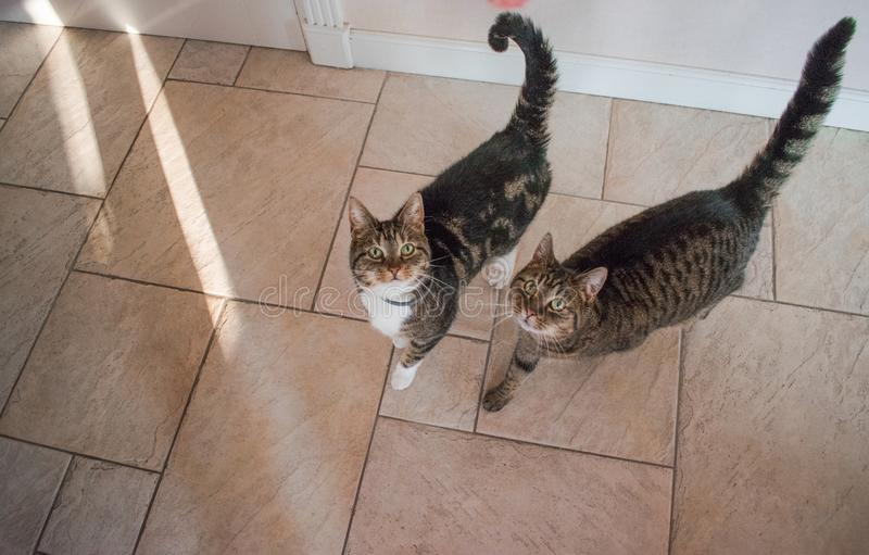 Two domestic cats looking for a treat. One with white paws and grey and black stripes. The other is grey with black stripes royalty free stock photography