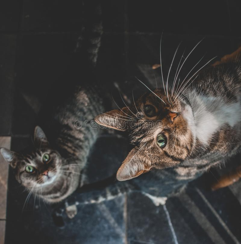 Two domestic cats looking up for a treat. Two domestic cats looking u for a treat. One with white paws and grey and black stripes. The other is grey with black royalty free stock images