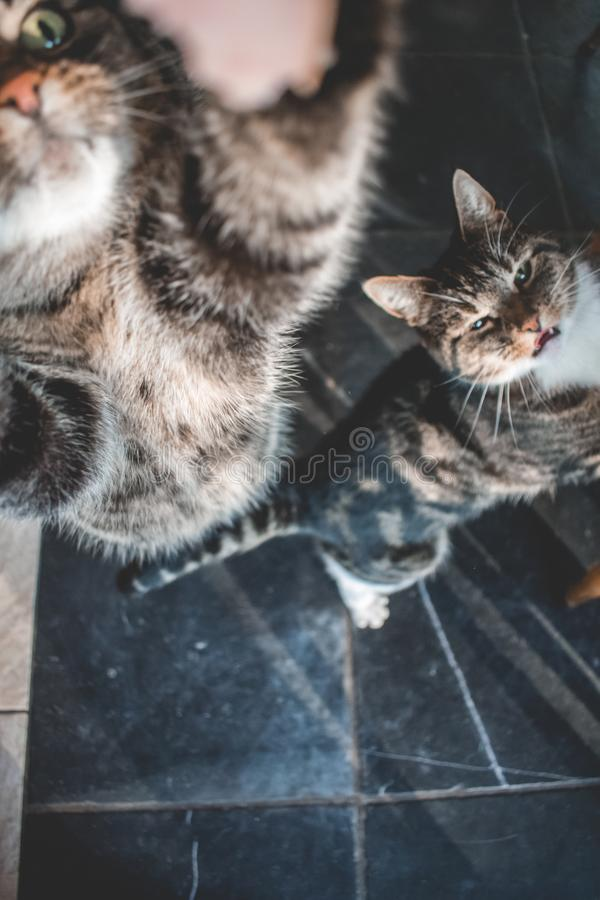 Two domestic cats looking up for a treat. Two domestic cats looking u for a treat. One with white paws and grey and black stripes. The other is grey with black royalty free stock photos