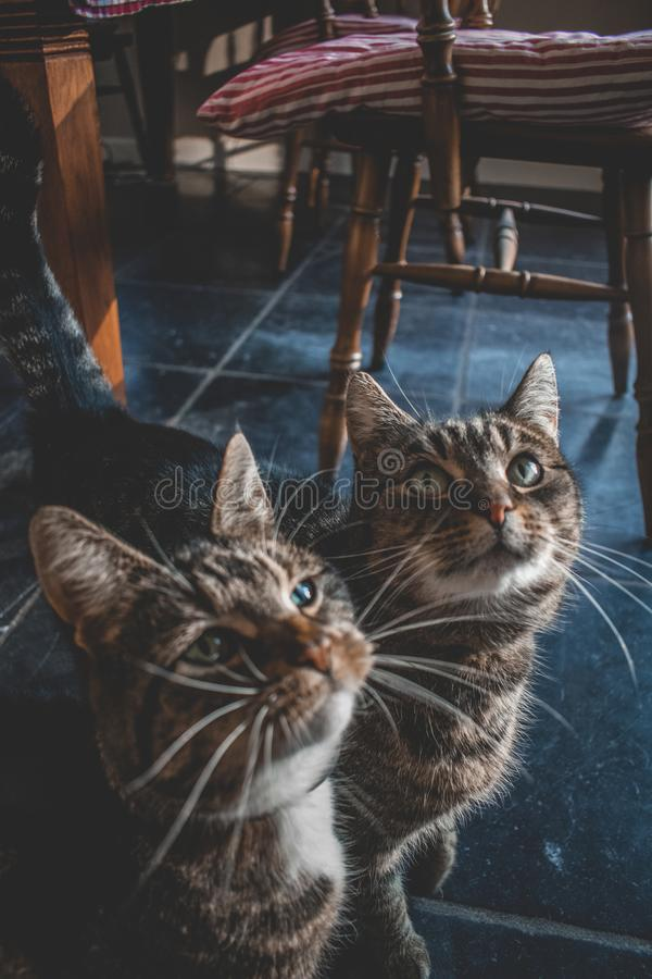 Two domestic cats looking up for a treat. Two domestic cats looking u for a treat. One with white paws and grey and black stripes. The other is grey with black stock photography