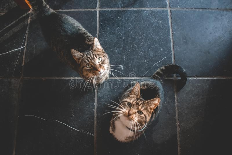 Two domestic cats looking up for a treat. Two domestic cats looking u for a treat. One with white paws and grey and black stripes. The other is grey with black royalty free stock image