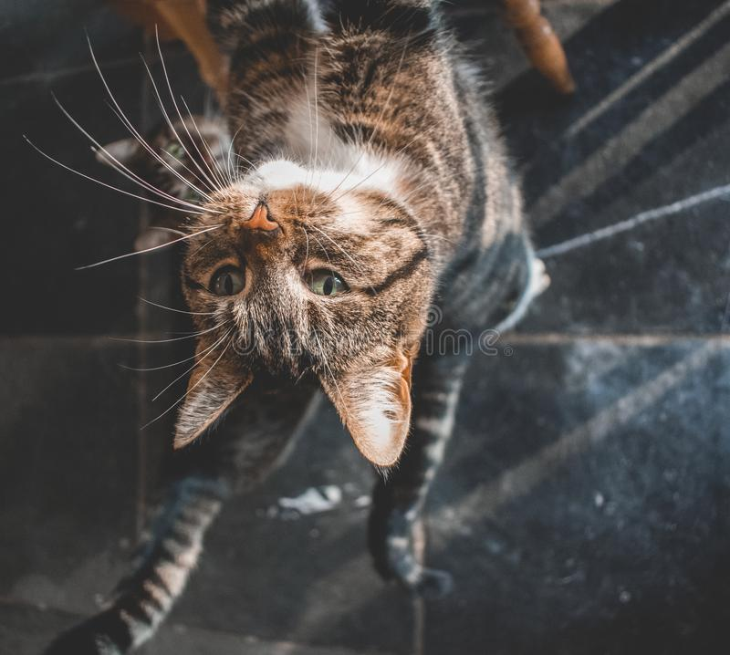 Two domestic cats looking up for a treat. Two domestic cats looking u for a treat. One with white paws and grey and black stripes. The other is grey with black royalty free stock photo