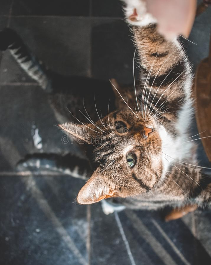 Two domestic cats looking up for a treat. Two domestic cats looking u for a treat. One with white paws and grey and black stripes. The other is grey with black royalty free stock photography