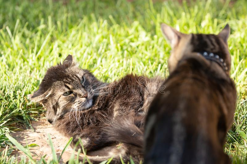Two domestic cats one of them with ears laid back and eyes glaring at the other who has dared to disturb her nap. In the morning sun stock photos