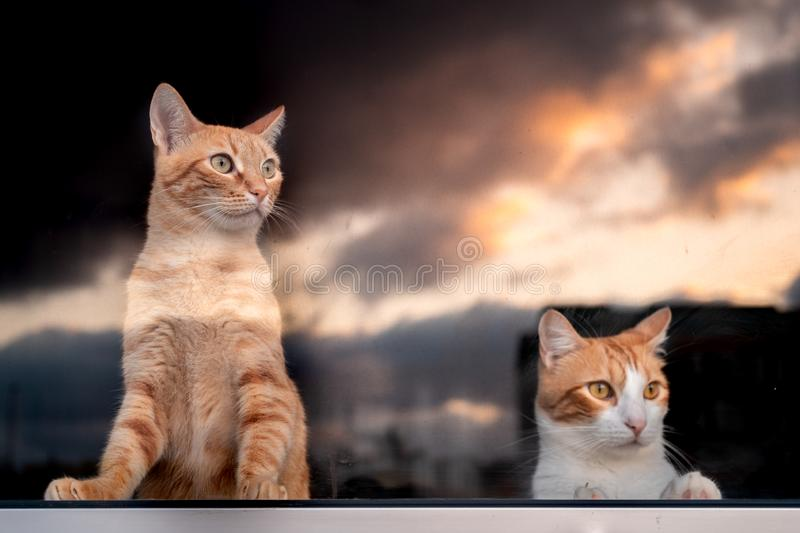 two domestic cats peeking out the window watching the sunset stock photography