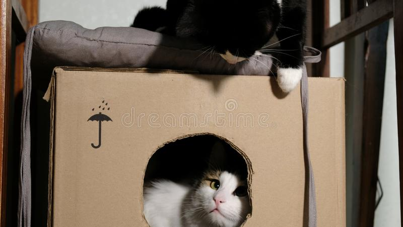 Two domestic cats play in a cardboard box at home. Two domestic cats play in a cardboard box, two pets playing at home stock photos