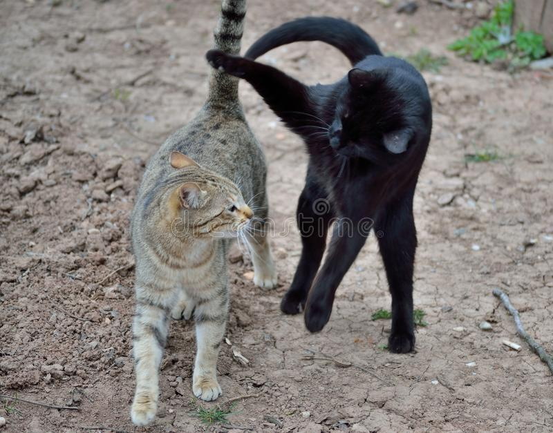 Two domestic cats play fighting.  stock photography