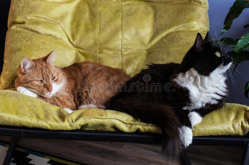 Two domestic cats, red and black and white, in a chair. One turned away, the other sad. Difficult characters of animals and. Two domestic cats, red and black and stock photo