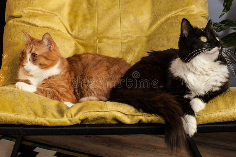 Two domestic cats in a yellow chair are turned away from each other. Animal characters and relationships. Conflict situation in a. Two domestic cats, red and stock photography