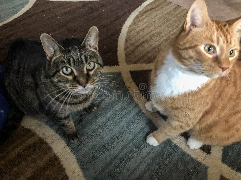 Two domestic cats on rug. Two domestic cats sitting on rug with swirled design.  One cat is multi-colored and one is orange and white royalty free stock photos