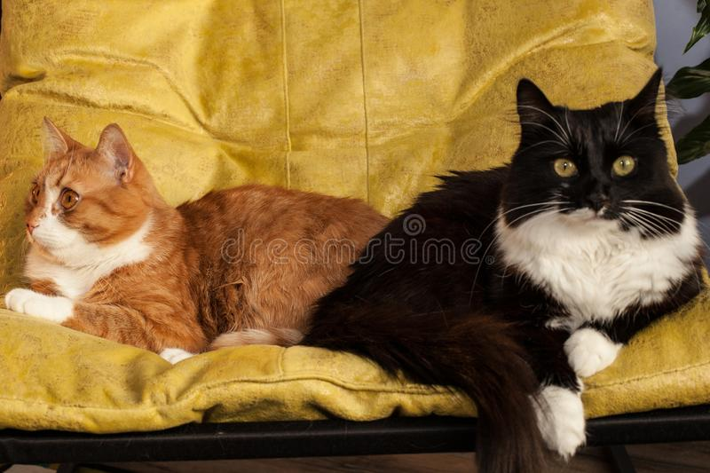 Two domestic cats in a yellow chair are turned away from each other. Animal characters and relationships. Conflict situation in a. Two domestic cats, red and royalty free stock photos