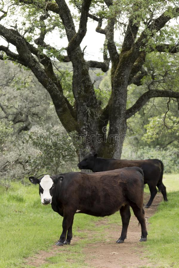 Two Domestic Cows by a Tree. Two domestic cows standing next to a tree stock image