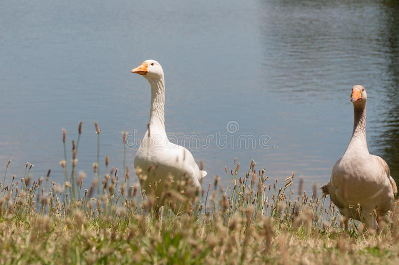 Two domestic geese birds, fowls near a pond stock photos