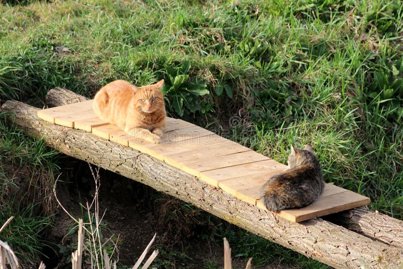 Two domestic grey and light brown cats calmly resting on small improvised wooden bridge surrounded with uncut grass. On warm sunny spring day stock images