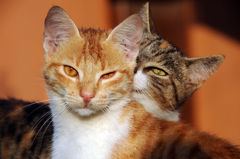 Two domestic house cats. Portrait of two domestic house cats, one grooming the other royalty free stock photography
