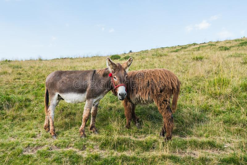 Two donkeys on a meadow, juxtaposed, bizarre framing, interesting idea royalty free stock images